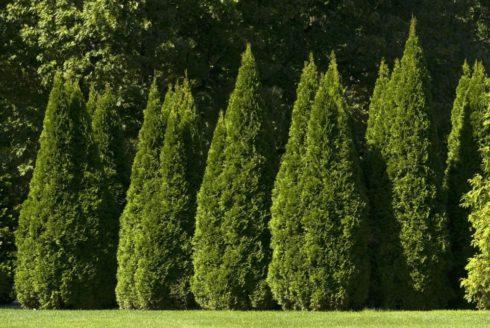Посадка колоновидных деревьев