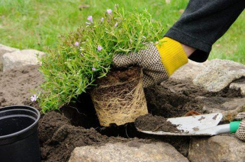 Высадите в землю заранее подготовленные растения